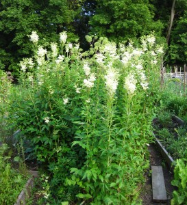 GardenFilipendulaShort