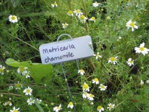 GardenMatricaria