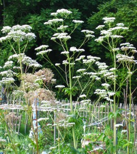 GardenValerianShort